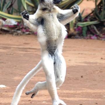 lemures-del-madagascar_45068