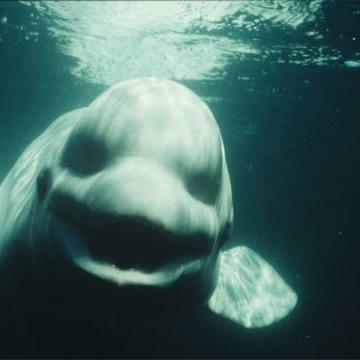 NOC-the-Beluga
